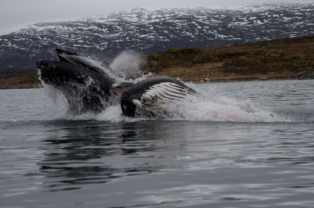 Look-Out-for-Whales-from-Tromso