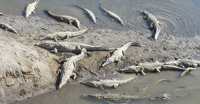 Watch-fearsome-Crocodiles-at-the-Tarcoles-River