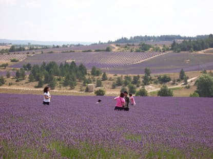The Lavender Fields of Provence, France