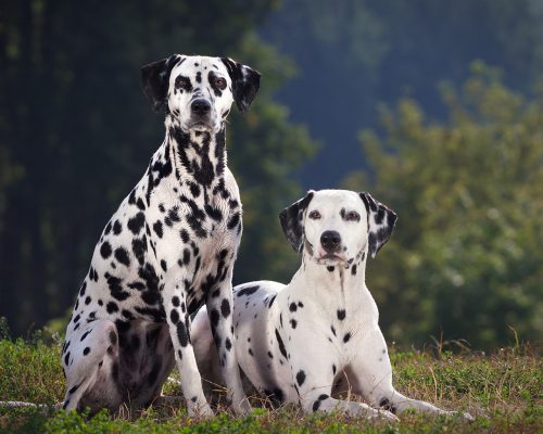History of Dalmatian Dogs