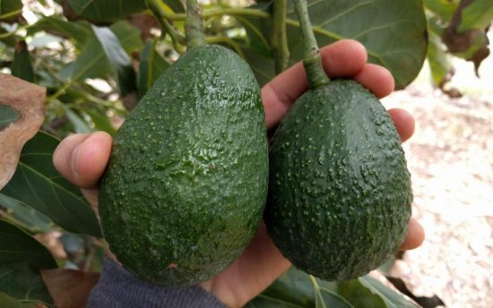 The History of San Diego and Avocados